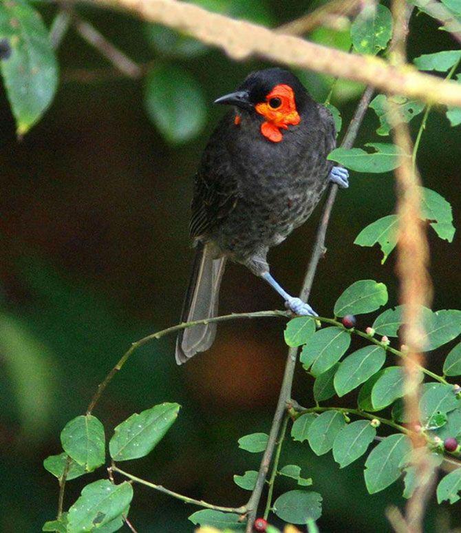 Дымчатый медосос.<br>Этот новый вид дымчатого медососа был обнаружен в 2005 году во время экспедиции ПБО в горы Фойя в индонезийской провинции на острове Новая Гвинея.