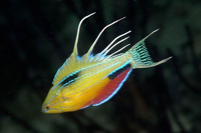 Что за цвет!<br>Этот мигающий губан был обнаружен во время экспедиции 2006 года в западную часть Папуа, Индонезия. Самцы проходят через удивительный ритуал ухаживания, при котором они загораются электрическими импульсами разных цветов при виде проплывающих мимо самок.