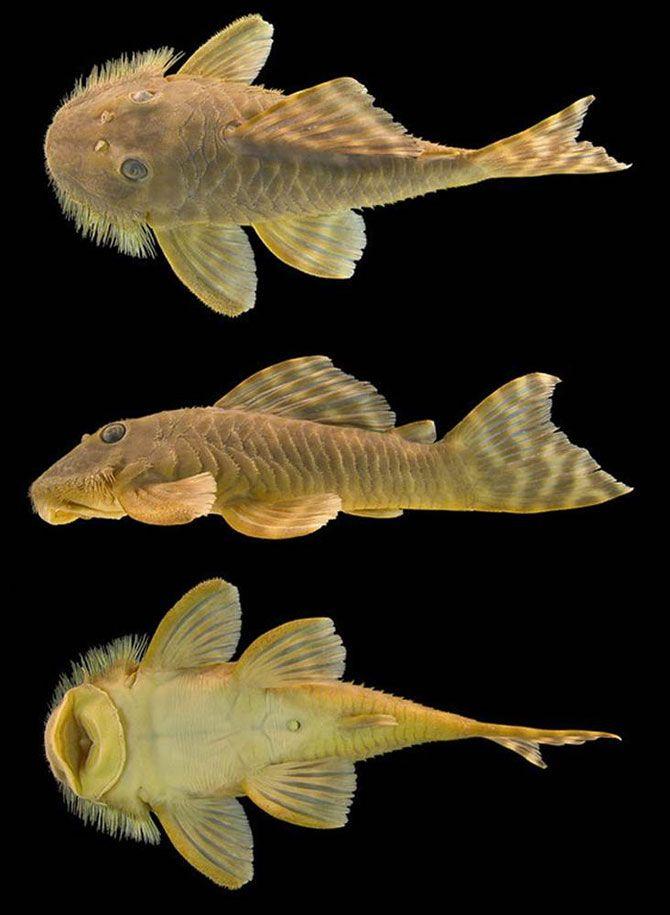 Губкоподобный сом.<br>Этот вид сома был обнаружен во время экспедиции ПБО в Суринаме в 2005 году. Плоский рот рыбы позволяет ей прикрепляться к другим рыбам и таким образом плыть в их направлении.