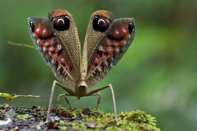 Лукавый кузнечик.<br>Этот павлиноподобный кузнечик был обнаружен во время экспедиции 2006 года в горы Гайаны Акараи. Это большое насекомое из тропических лесов использует две эффективных стратегии, чтобы защитить себя: во-первых, оно выглядит как опавший лист, а если ему грозит опасность, оно поднимает пару крыльев с узором в виде глаз и начинает прыгать таким образом, чтобы его противник принял его за голову гигантской птицы.