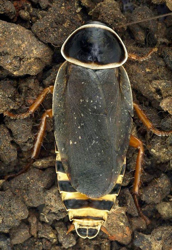 Уборка после летучих мышей.<br>Этот вид насекомых проживает только в одной пещере горного хребта Симандоа, Гвинея, где они были обнаружены в 2002 году. Они питаются гуано гигантских фруктовых летучих мышей, которые населяют пещеру.