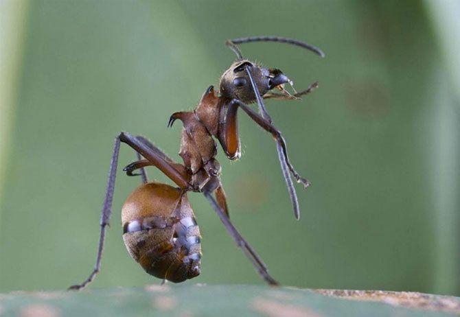 Муравьи с крючками.<br>Ученые, как и любые хищники, млекопитающие или птицы, дважды подумают, перед тем как приблизится к крюкоподобному муравью, который обитает в лесах Камбоджи. Изогнутые крюкоподобные лапы муравья легко впиваются в кожу. Муравьи были обнаружены во время экспедиции по Камбодже в национальном парке Вираши в 2007 году.