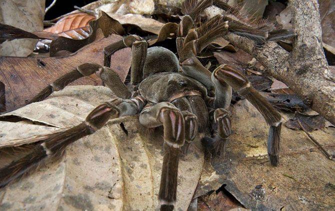 Самый тяжелый в мире паук.<br>Паук-птицеед Голиаф, представляет собой самого массивного паука в мире, весом в 6 унций (170 грамм). Этот образец обнаружил научный коллектив ПБО в 2006 году в Гайане. Несмотря на свое название, они питаются в основном беспозвоночными, но также едят мелких млекопитающих, ящериц и даже ядовитых змей.