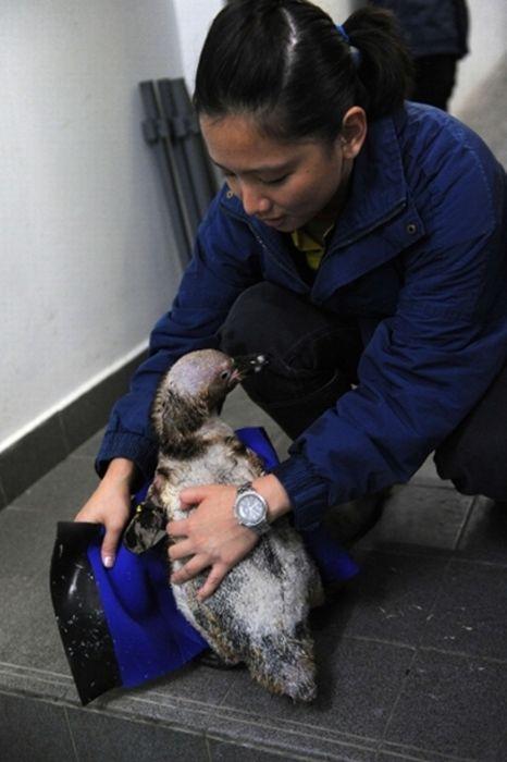 Пингвин без перьев научился плавать в гидрокостюме (8 фото)