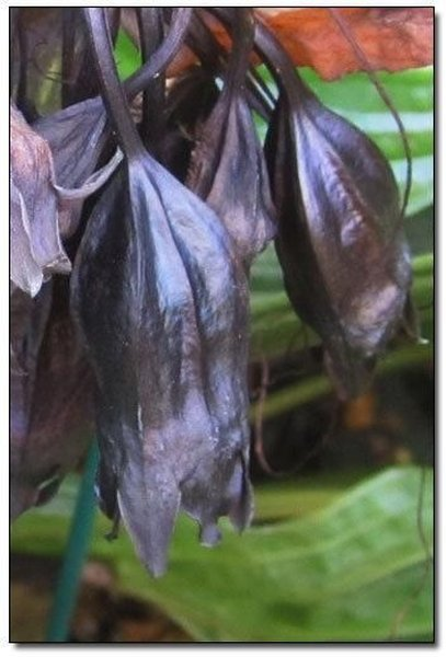 5. КИТАЙСКИЙ МЫШЕЦВЕТ / CHINESE BLACK BATFLOWERS<br>Все таки Бэтмен не случайно выбрал символом устрашения криминального населения Готема летучую мышь. Ибо эти порождения тьмы ужасны: маленькие злые глазки, тонкие лапки с огромными крючковатыми ногтищами, острые зубки, пухленькое тельце, неравномерно покрытое волосами, и огромные крылья — чем не описание жуткого монстра из очередного малобюджетного, но от этого не менее страшного, фильма ужасов? И если Вы один из тех, кто считает их милыми зверушками, питающимися фруктиками, то наверняка измените свое мнение, когда одна из этих тварей вцепится вам в лицо и высосет до капли всю вашу кровь…, но, к сожалению, для Вас будет уже поздно.  Матушка природа потрудилась на славу в попытке создать самое жуткое и вместе с тем отвратительное растение, наделив его всеми отличительными признаками летучей мыши и добавив для верности пучок жгутовидных щупалец. Это порождение детских кошмаров получило название китайский мышецвет.