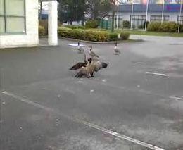 Битва гусей закончилась трагедией