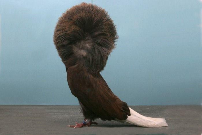 Редкие голуби (18 фото)