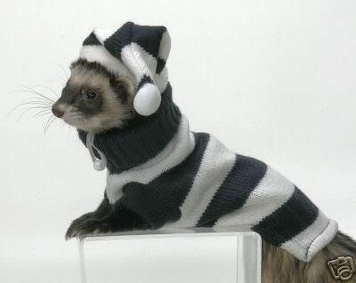 Прикольные хорьки в свитерах (6 Фото)