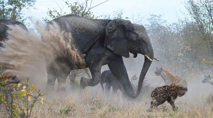 Гиены против злой слонихи (7 фото)