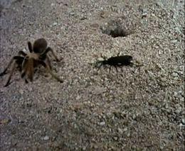 Битва осы и тарантула