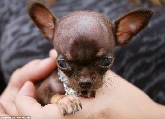 Самый крошечный чихуа-хуа в мире (6 фото)