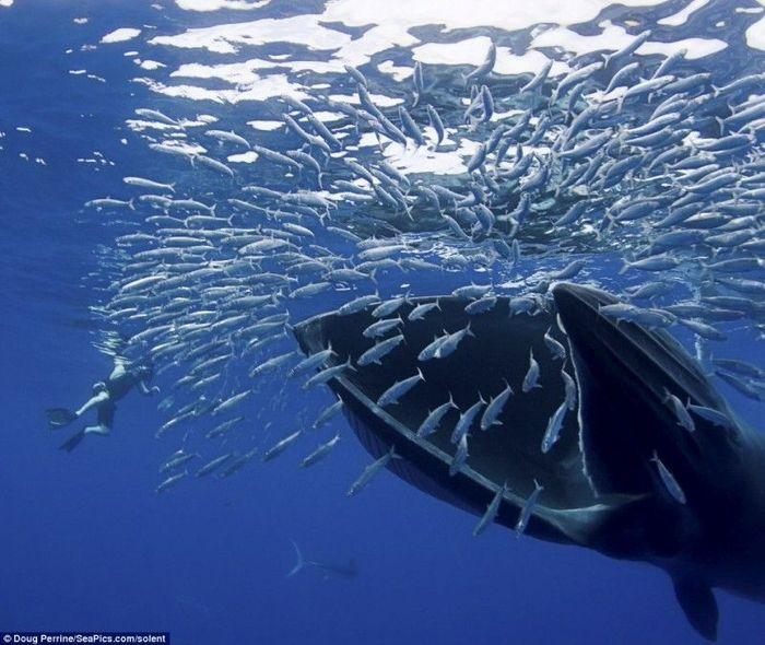 Обедающий кит едва не проглотил фотографа (8 фото)