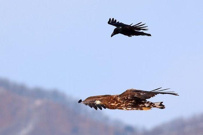 Обнаглевшая ворона (4 фото)
