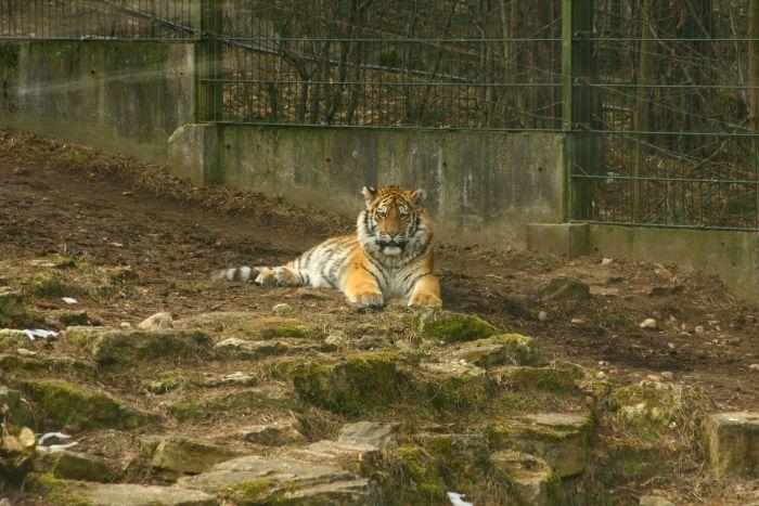Новый друг тигра (20 фото)