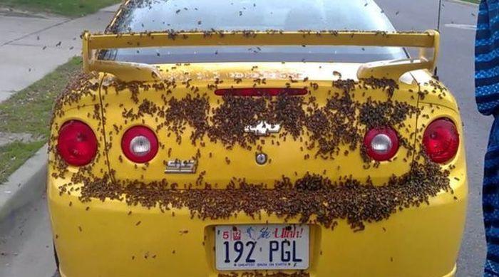 Американские пчелы любят американские машины (6 фото)