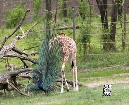 Детеныш жирафа и павлин