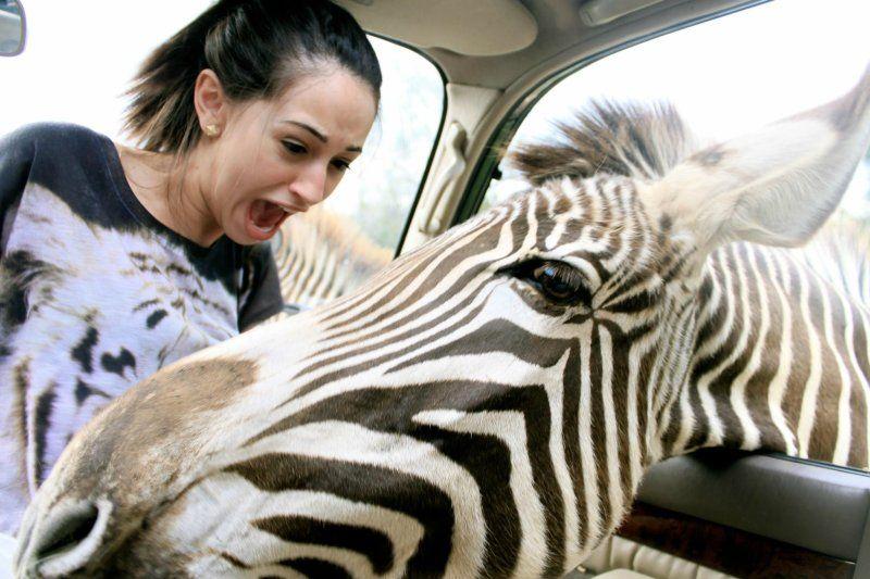 Фотоальбом голова, девушка, зебра