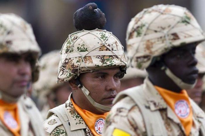 Смешная фотогалерея голубь, каска, прикол, солдаты