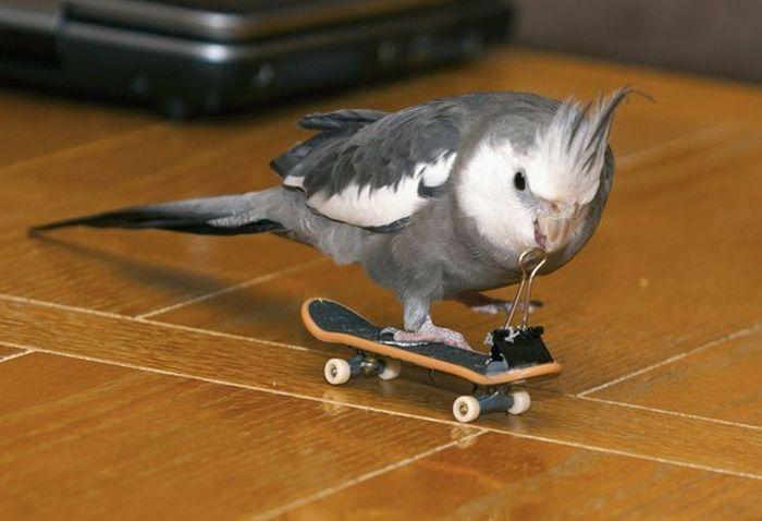 Фото попугай, скейт, фингерборд