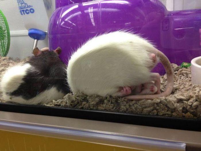 Фото прикол за стеклом, мышка, спит, хомяк