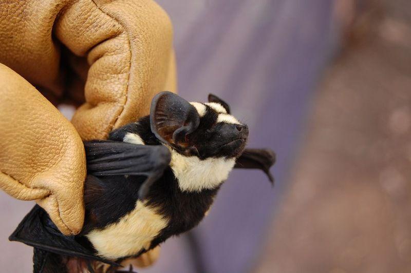 Впервые обнаружена летучая мышь-панду (3 фото)