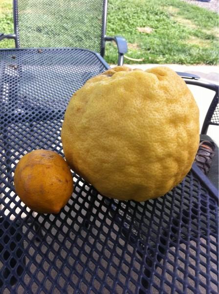 Зачетное фото гигантский, лимон, прикол, фрукт