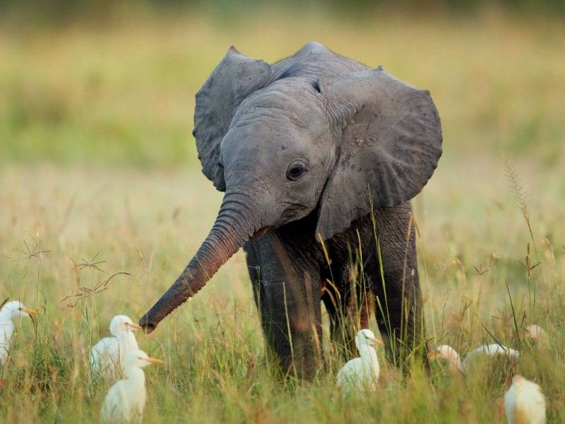 Фото онлайн гуси, животные, слон, утки