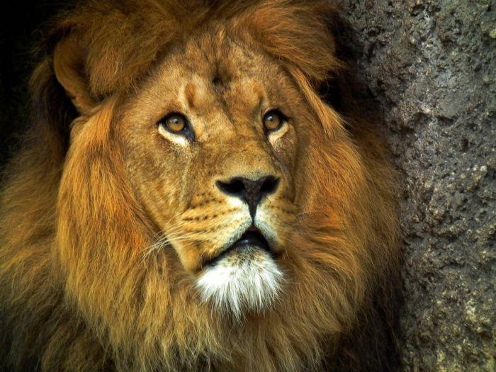 животные, дикая природа, зверь, тигр, лев, орел, птица