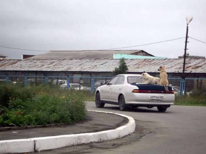 Фанни фото багажник, питомцы, собака на машине