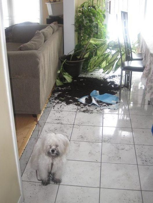 Юмор прикол беспорядок, разбил, собака, улики, цветок