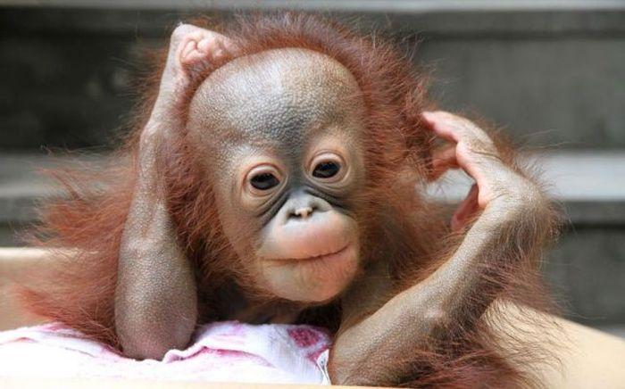 Зачетное фото детеныш, обезьяна, примат