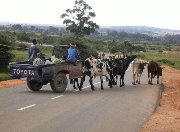 Фотоприкол недели деревня, коровы, транспорт, упряжка