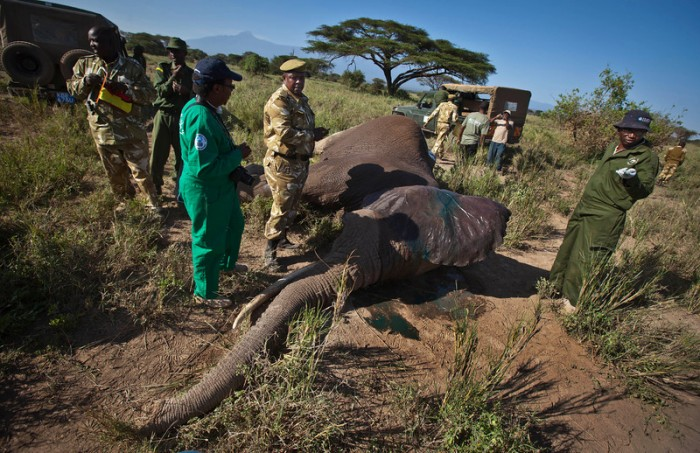 танзания, слоны, отстрел, браконьерство,