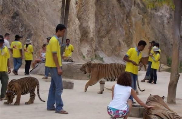 тайланд, тигр