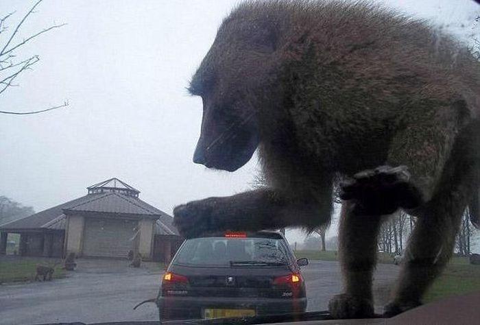 Фотоприкол дня мартышка, машина, обезьяна, огромная