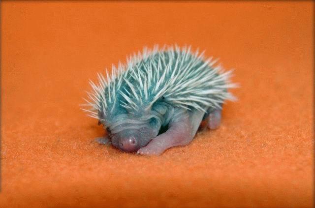 ...ответ:маленькие ежики рождаются с иголками...