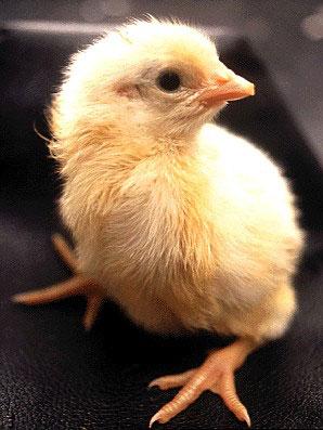Как из яйца появляется цыпленок (30 фото)