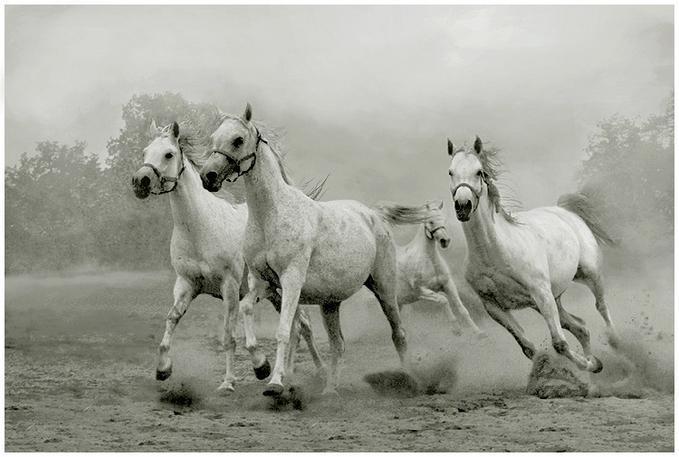 Арабские скакуны (13 фото)