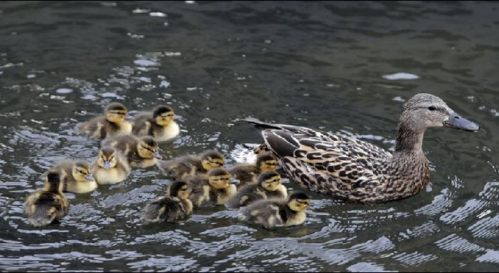 duck92