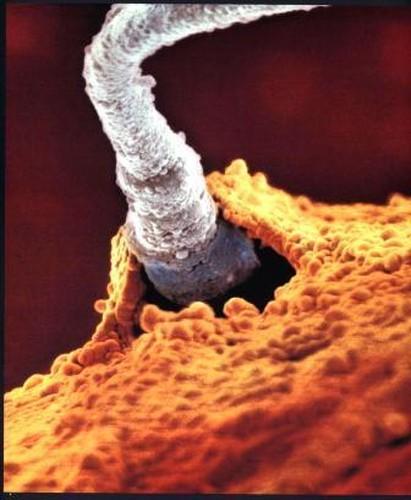 20 часов после эякуляции: внутри оплодотворенной яйцеклетки ядра мужской и женской клеток соединяются и образуются новые хромосомы (генетический материал)