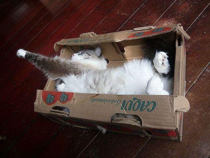 Шотландский вислоухий кот фото комок счастья