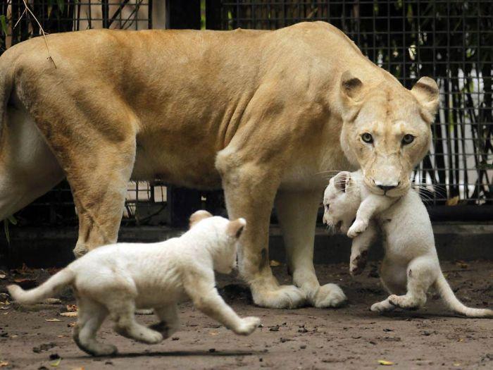 Трогательные фотографии животных с детенышами (25 Фото)