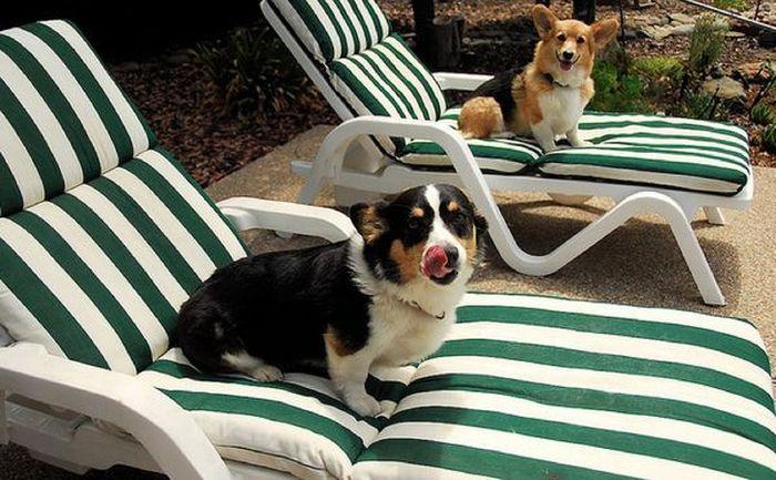 Собачий отдых у бассейна (9 Фото)