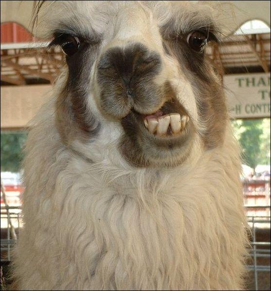 Смешные создания – альпаки (20 Фото)