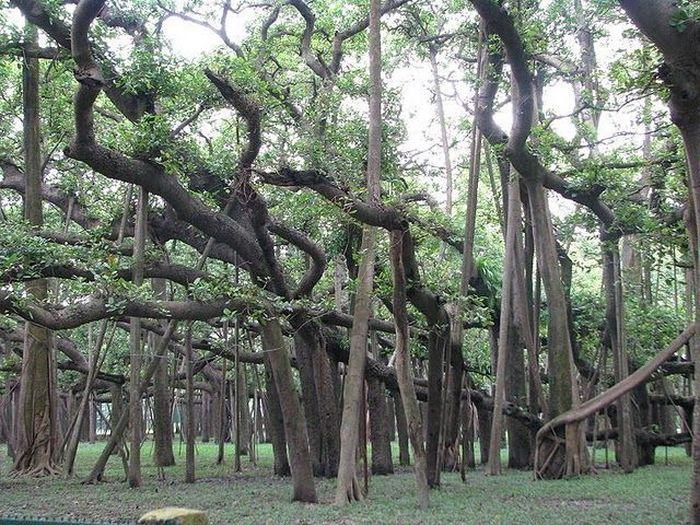 Великий Баньян - живой лабиринт  (10 фото)