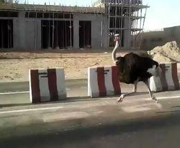 Бега страус - беги!