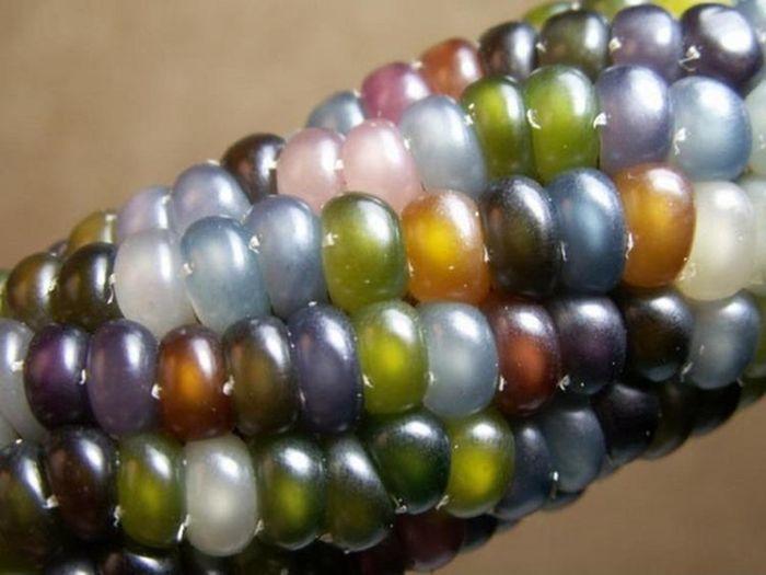 Это настоящий сорт кукурузы (3 фото)