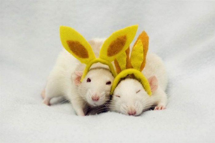 Милые крыски (8 фото)