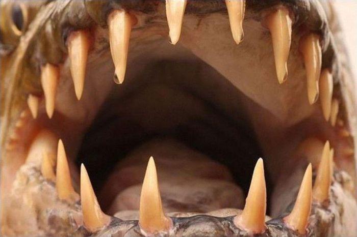 Водный монстр из Африки – Тигровая рыба Голиаф (12 фото + 1 видео)