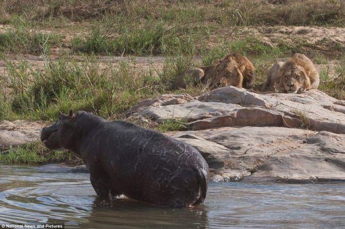 Жестокая природа: гиппопотам против львов (12 фото)